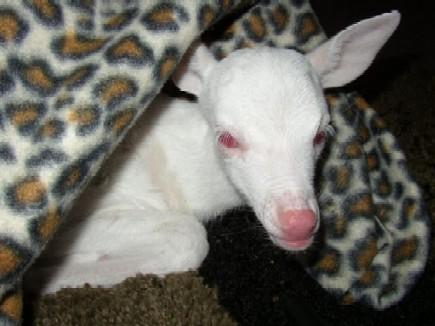 albinodeer2.jpg