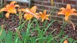 Daylily bunch