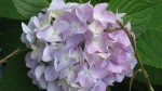 Pink/Purple Hydrangea that was supposed to be Red