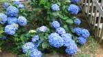 Dark Blue Hydrangea Bush